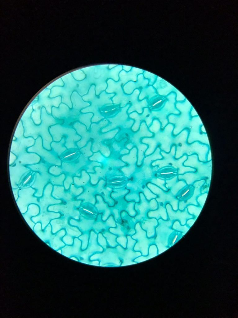 Prepared Microscope Slide with Biological Specimen, Plant Specimen, Animal Specimen, Bacterial Specimen, Microbial Specimen, Non-biological Specimen, Human Tissue Specimen, Microscope Cell Specimen, Microscopic Parasite Specimen, Educational Student Experiment Microscopic Specimen, Paramecium specimens, Sperm specimen, Blood specimen,